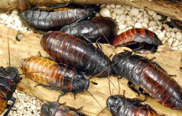 昆虫食 ゴキブリも食べれるよ!
