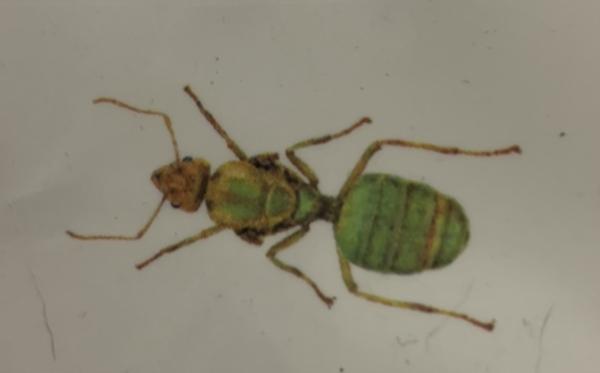 昆虫食2回目女王ツムギアリ